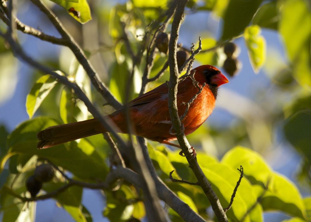 The other bird that was quite common, but also quite a surprise was the Northern Cardinal. While I'm used to seeing these in North America, it was a bit odd to see them in the tropic. I believe they were introduced.
