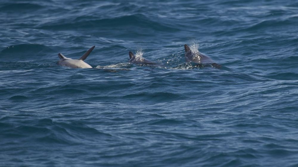 Three spinner dolphins at play in the warm waters off Maui.