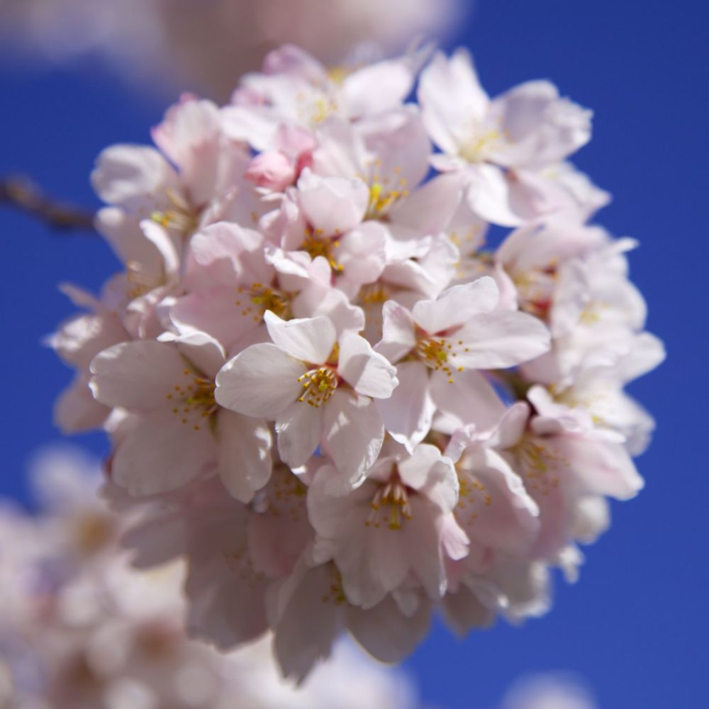Cherry blossoms, close up.