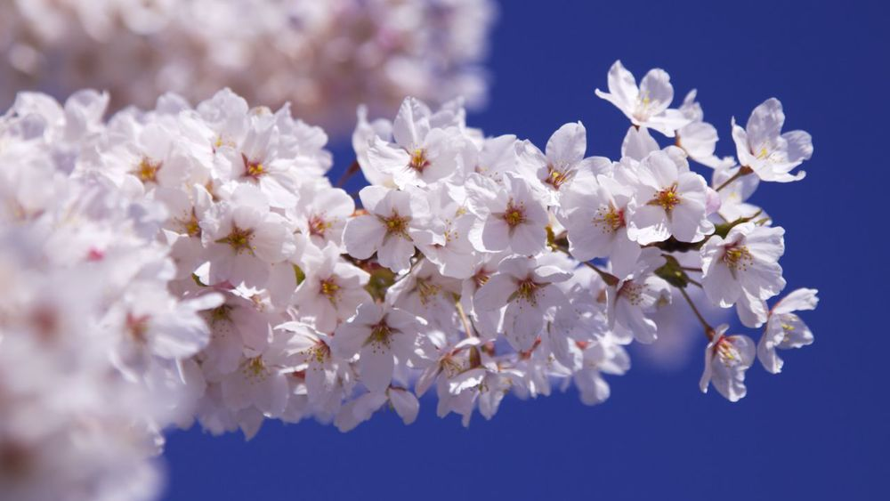 201303 Blossoms 5.jpg