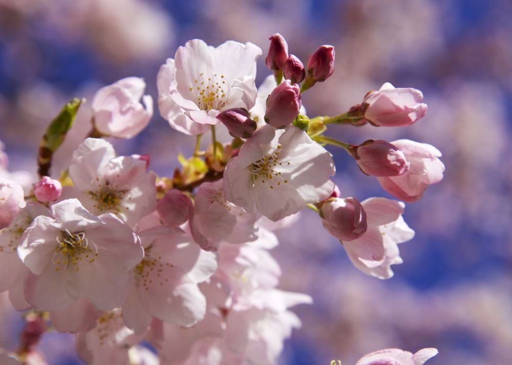 201303 Blossoms 23.jpg