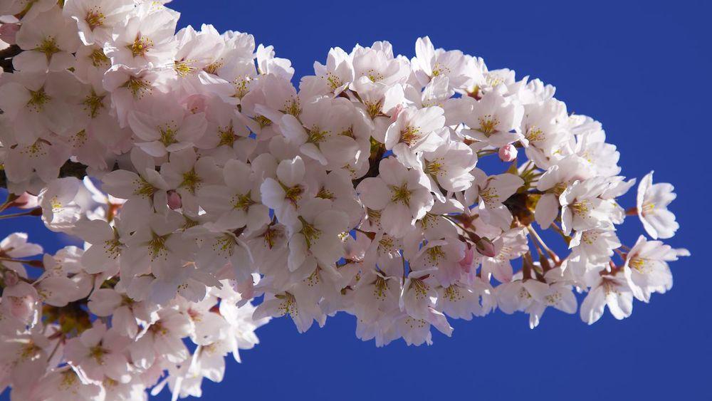 201303 Blossoms 43.jpg