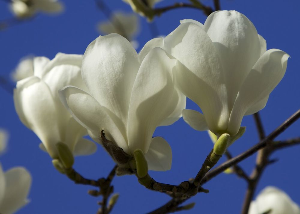 White magnolia flowers.