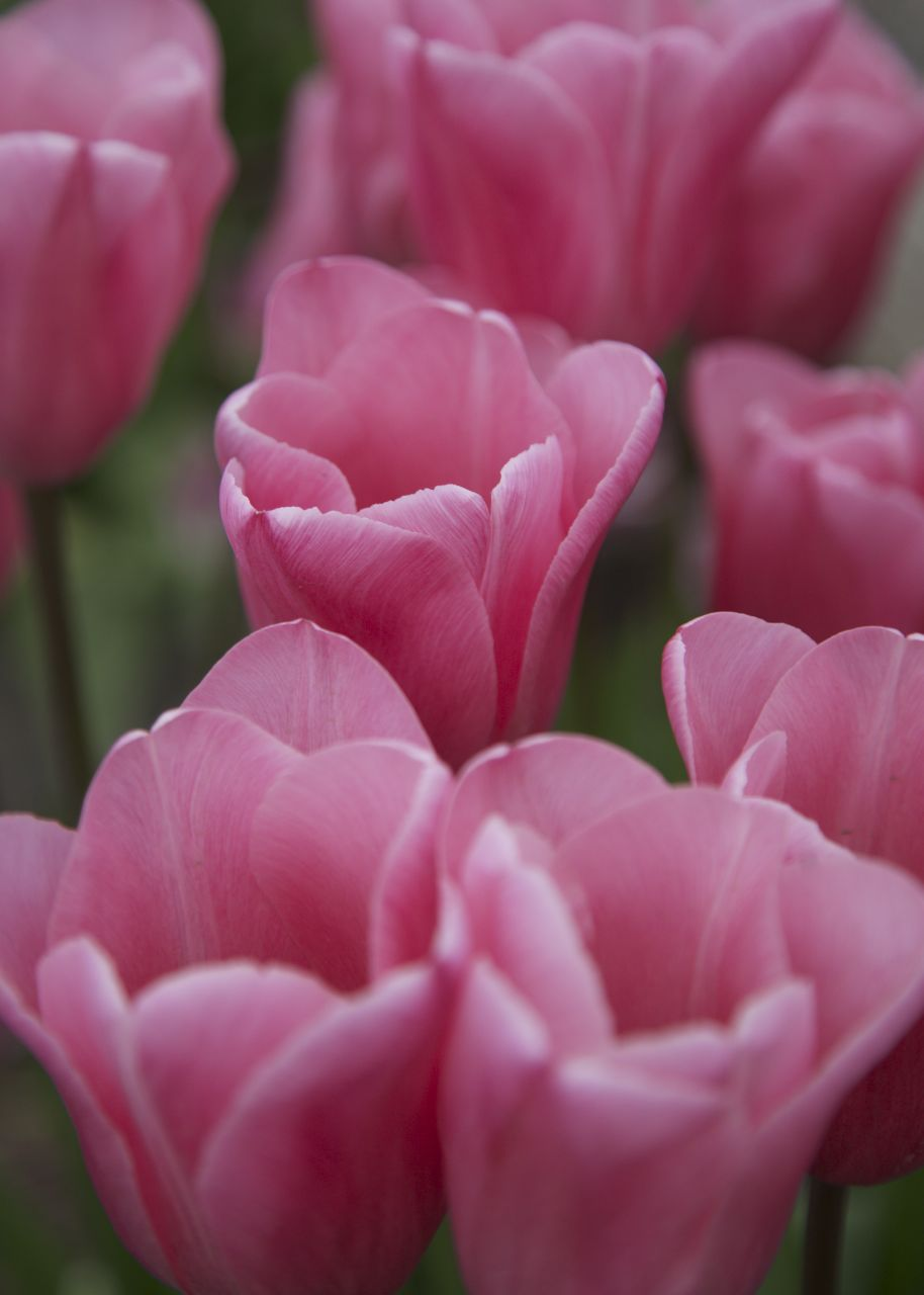 The pink tulips were particularly vibrant.