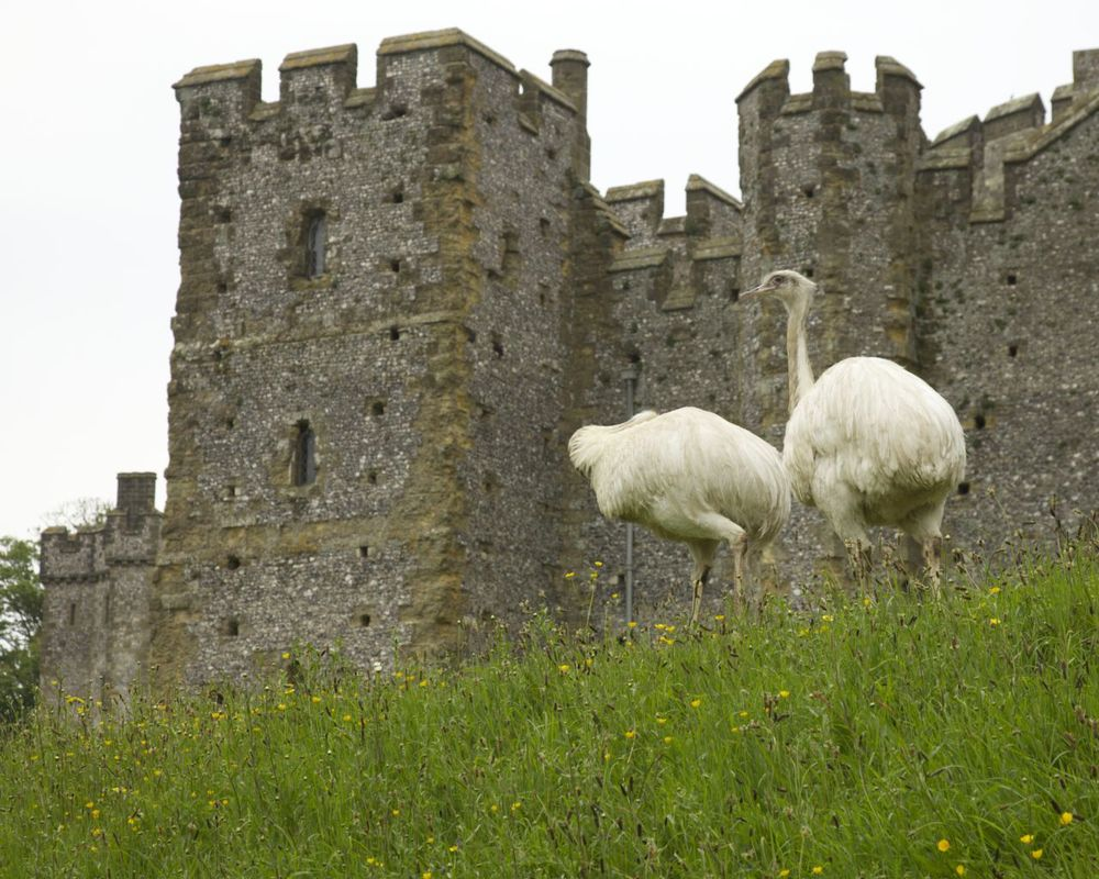 For some odd reason, they had a couple of rheas wandering about the castle.