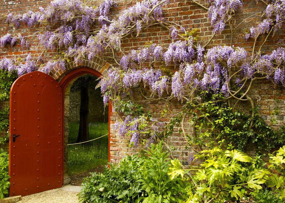 One of the red doors led through to a beautiful wisteria wine, clinging to the interior wall.
