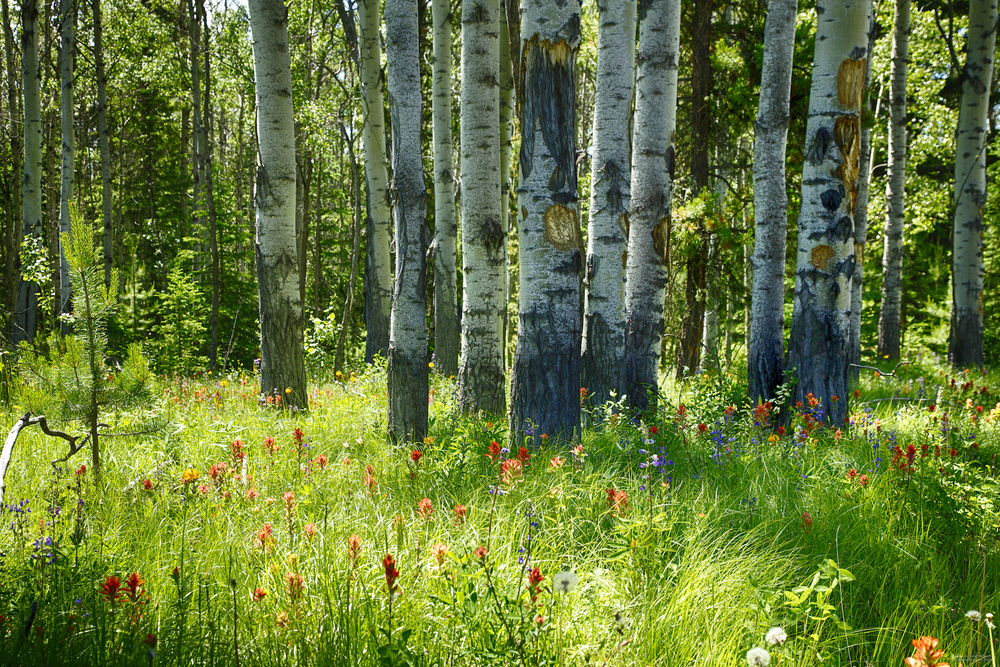 Wildflowers dot the underbrush amongst the birch trees in the bright sunshine.