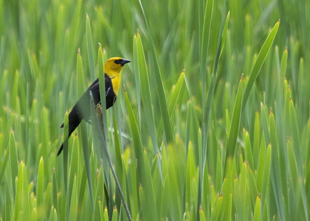 A male, yellow-headed blackbird out n the reeds.