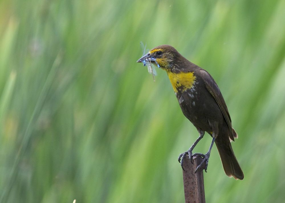 A female, yellow-headed blackbird with a dragonfly.