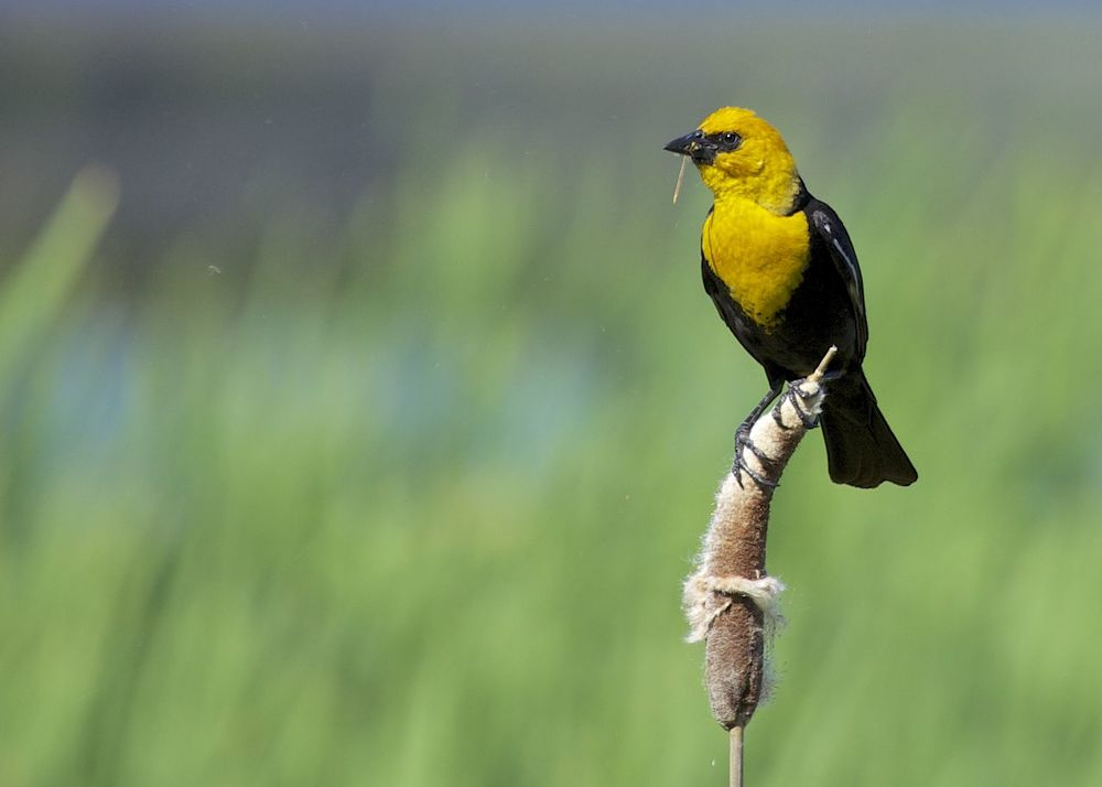 A male yellow-headed blackbird with a dragonfly.