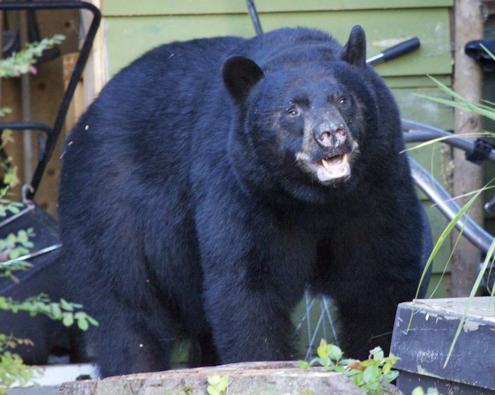 A huge black bear made an unwelcome visit to our front yard.