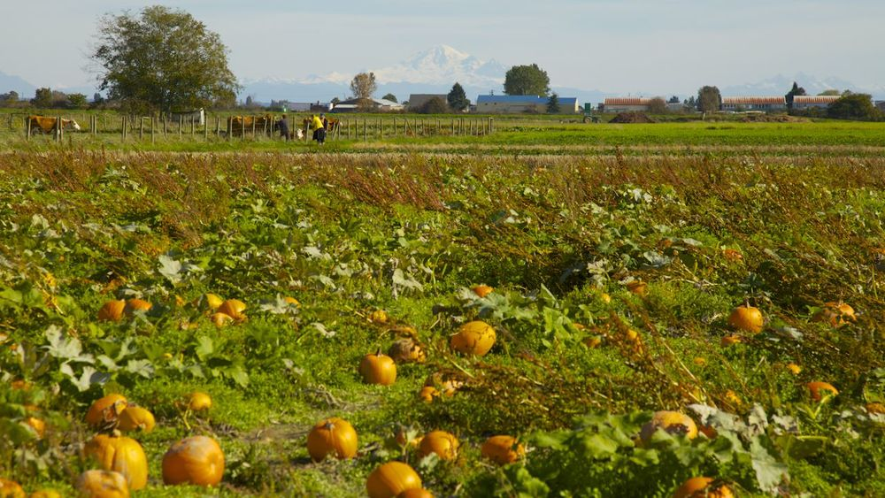 The pumpkin patch, with Mount Baker in the background.
