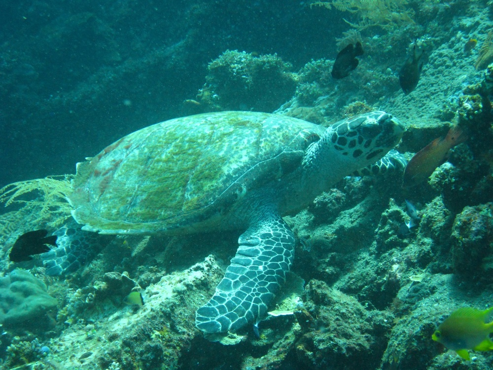 This green sea turtle was easily the highlight of the second dive on the wreck of the Liberty.