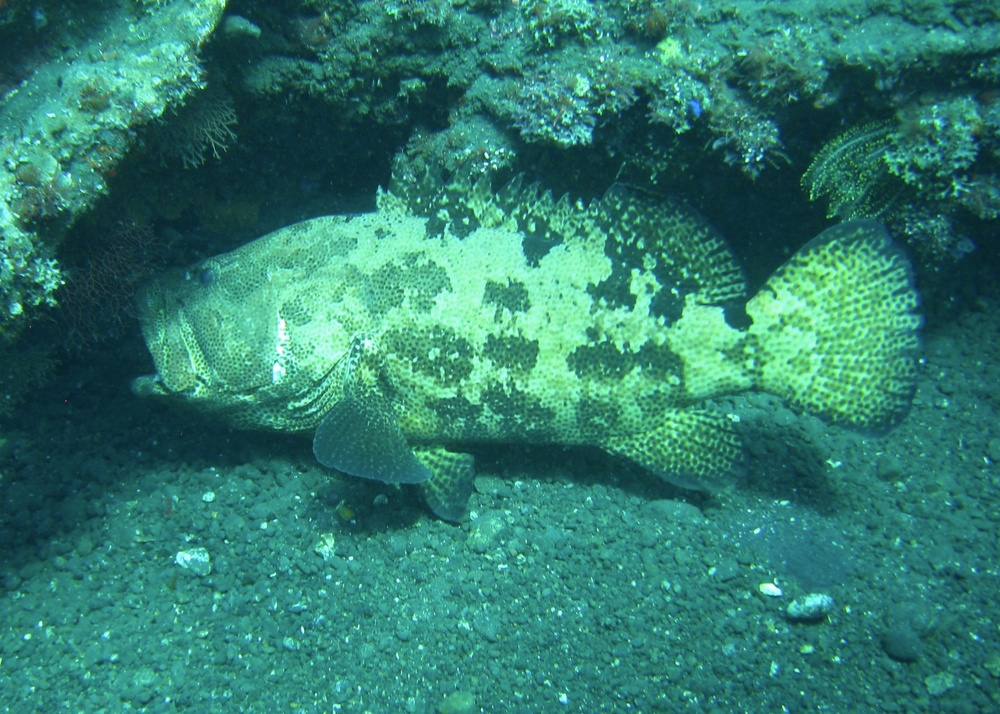 There were a few large grouper on the dive site, which is an encouraging site. This guy was probably a good three feet long - not huge but pretty old.