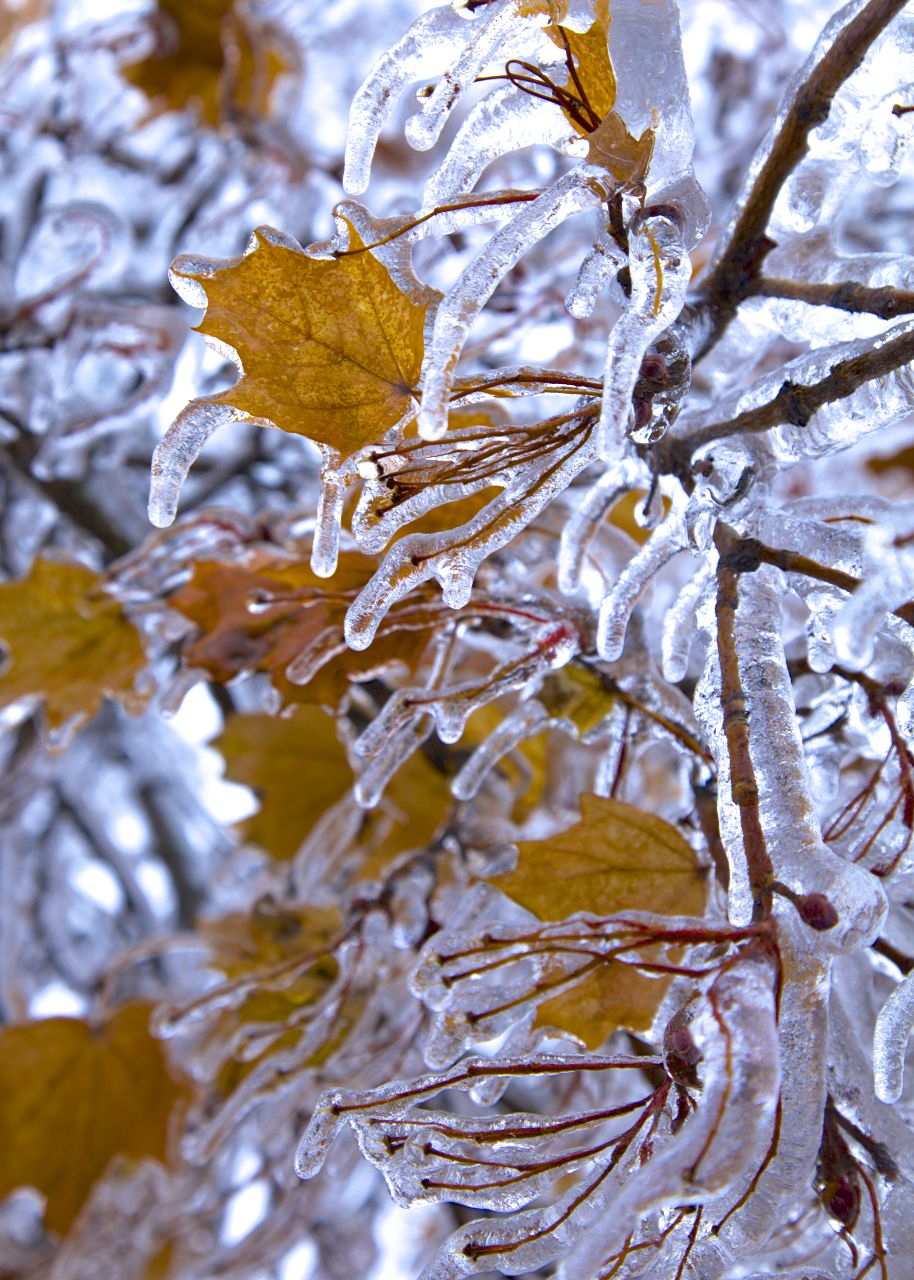 The maple leaves look amazing in the ice.