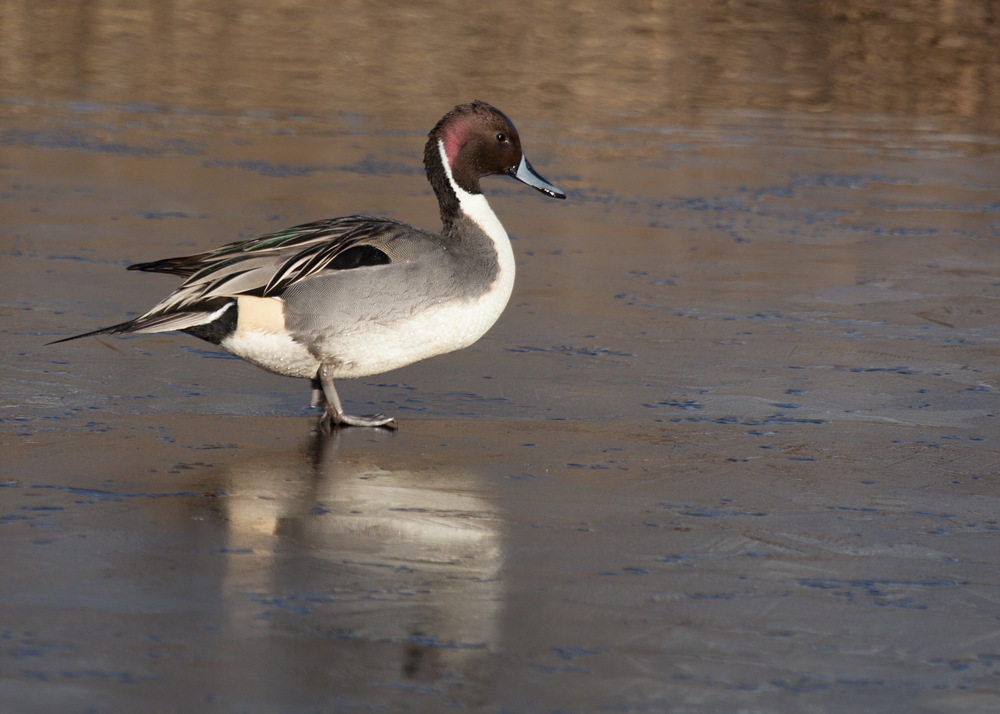 Northern Pintail on Ice