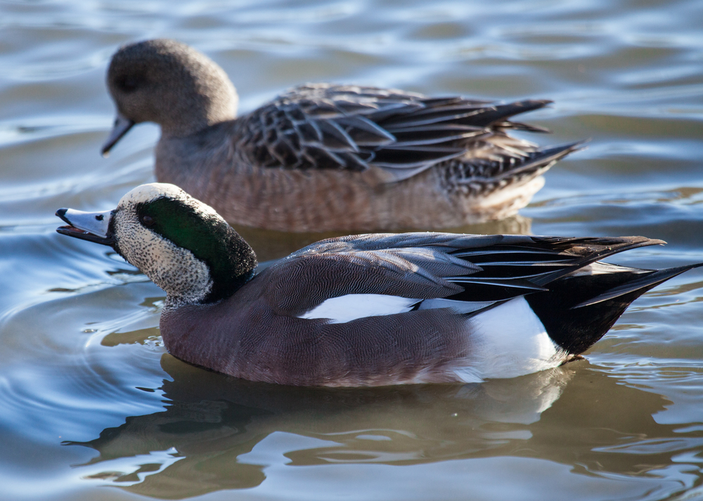 American Wigeon - Male and Female