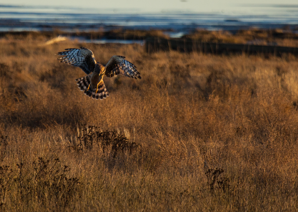 After a while the owl gave up and left the harrier to his hunting.