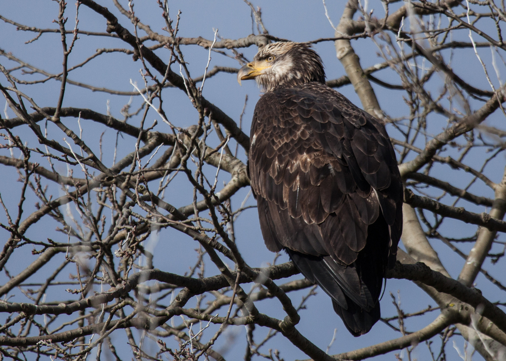 Juvenile Bald Eagle in a Tree