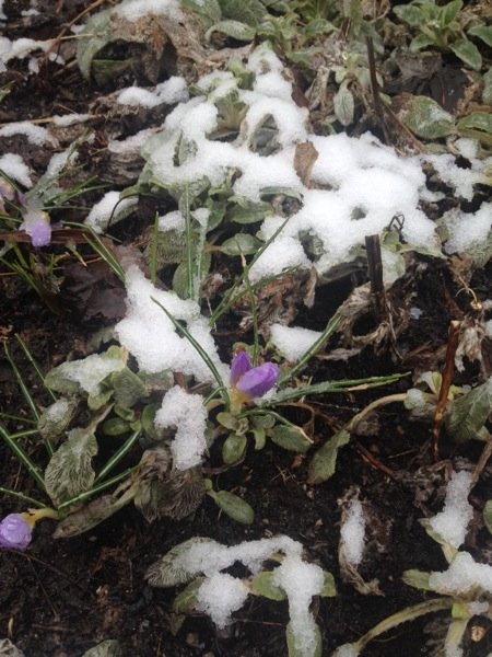The crocuses were hanging on in the snow that was accumulating along the seawall, near Granville Island.