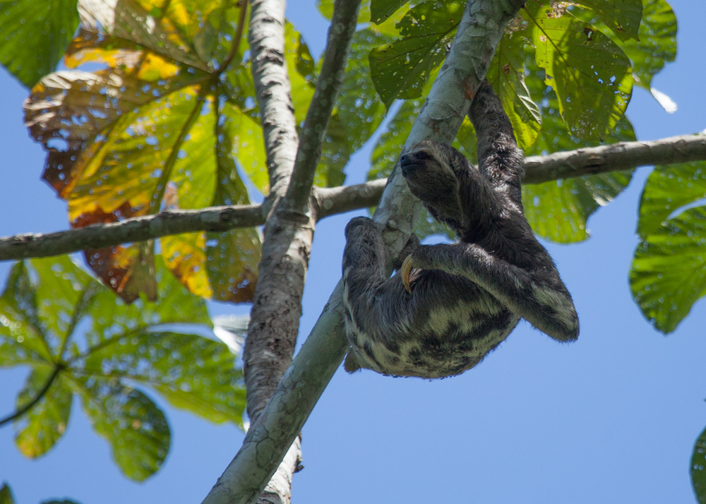 A sloth, up in one of the trees along the boardwalk. At least this one was living wild.