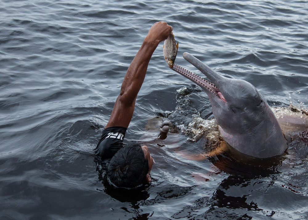 The river dolphins have much longer snouts than ocean-going dolphins, and adaptation I'm sure that comes from hunting for fish in those murky conditions.
