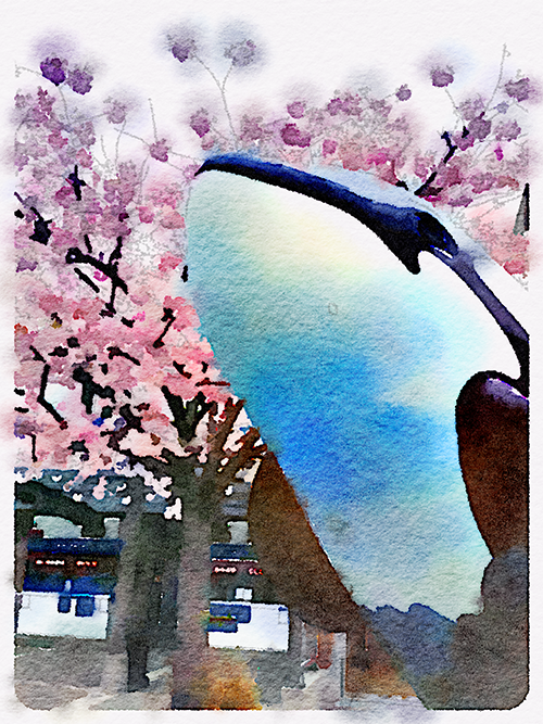 A whale jumping through the cherry blossoms!
