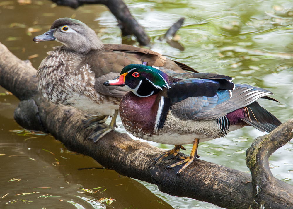 A male and female wood duck, hanging out on a tree branch.
