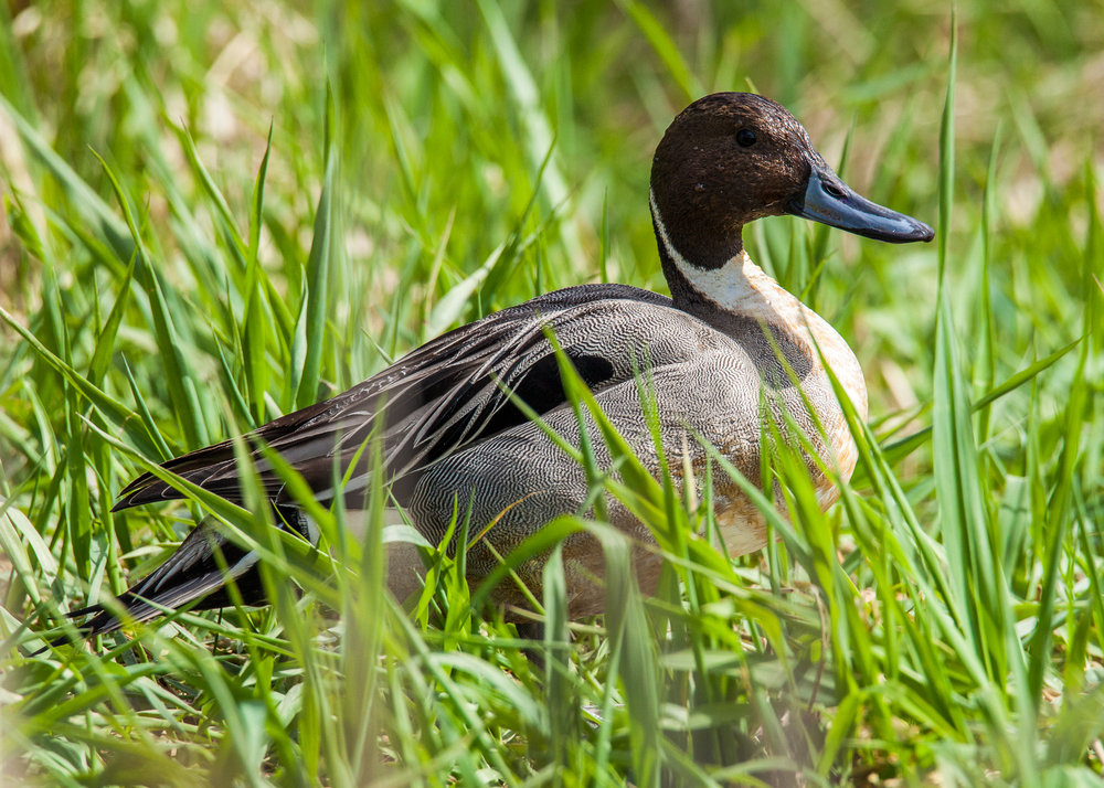 Probably my favourite duck, the Northern Pintail.