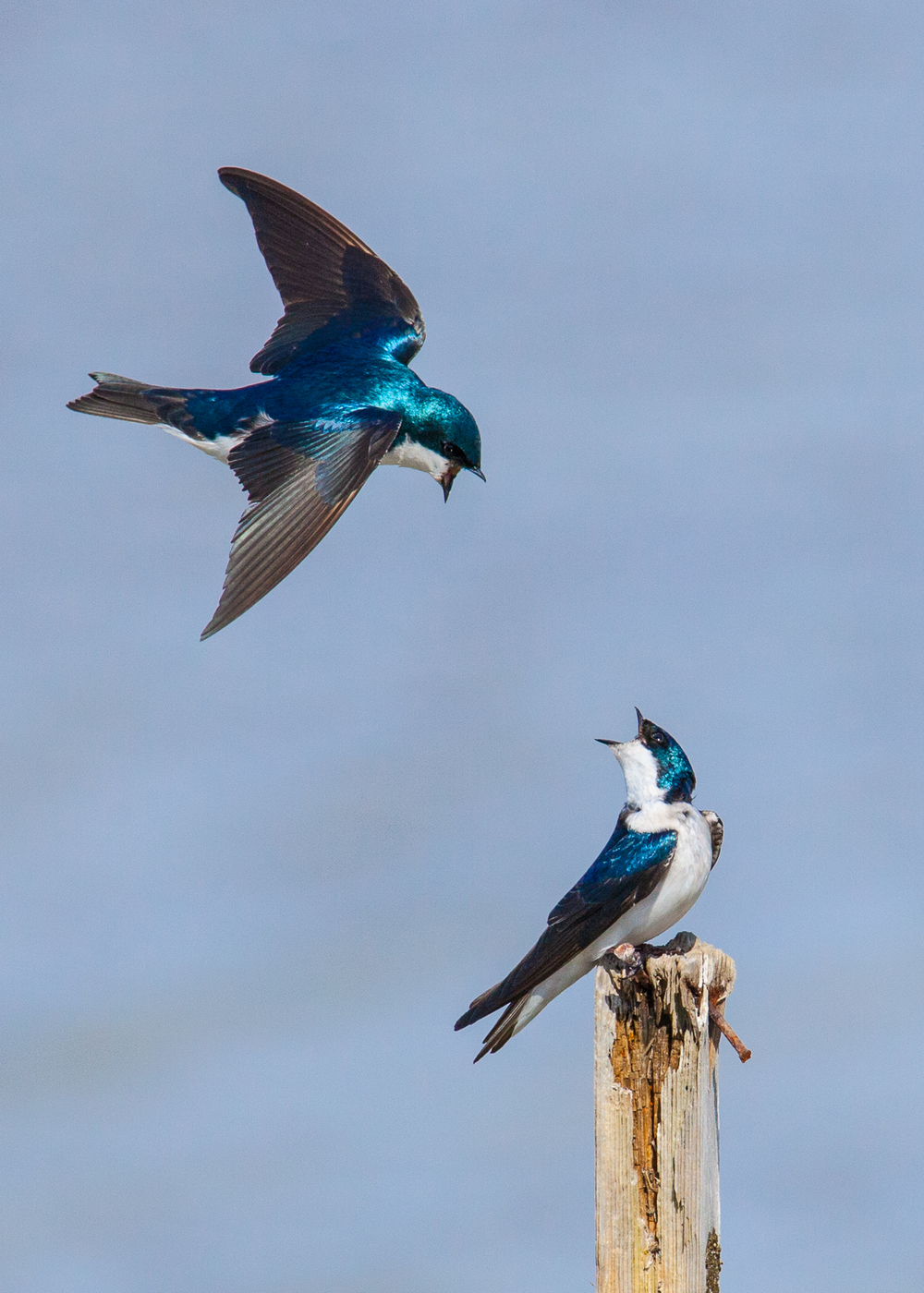 The highlight of the day was a couple of male tree swallows, fighting for turf. I think these turned out really well.