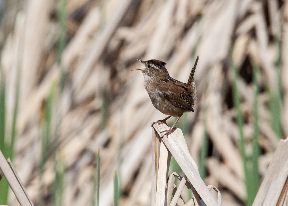 Speaking of noise, this little marsh wren is probably the loudest bird in the place. So much noise out of such a little bird!
