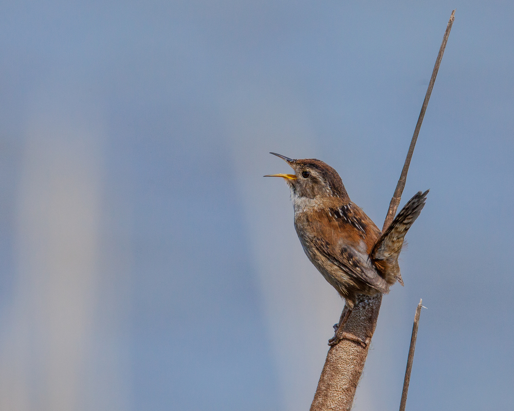 marsh_wren_singing