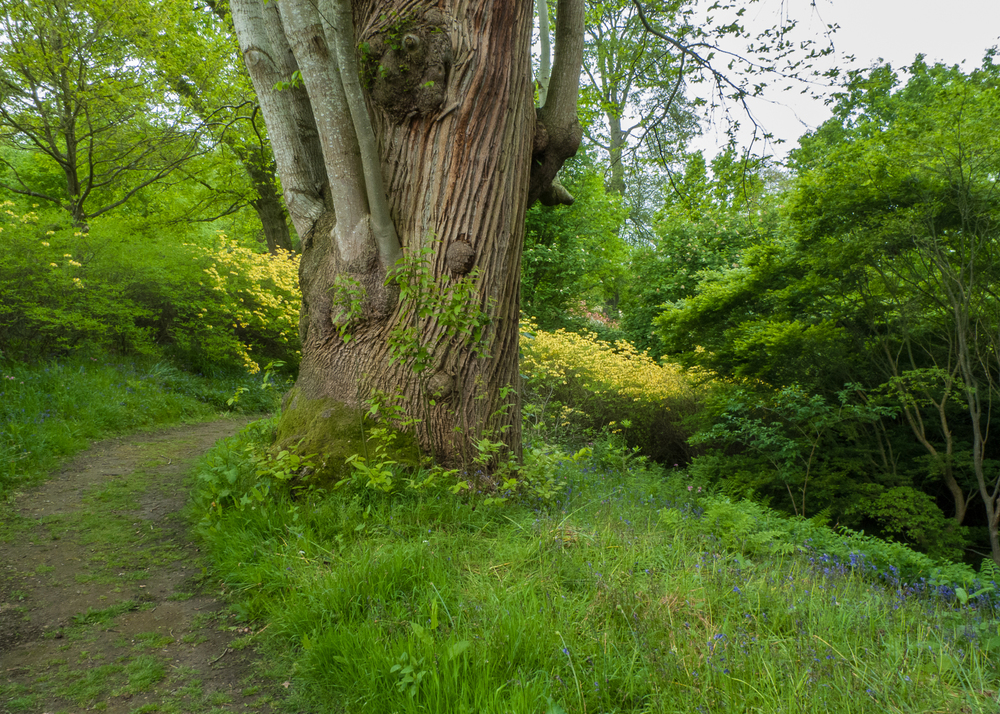 A huge old (I think?) beech tree along the path on the grounds of Petworth House.