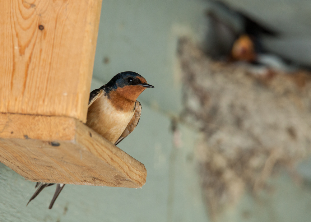 This pair of barn swallows were on a nest, which you can see in the background.