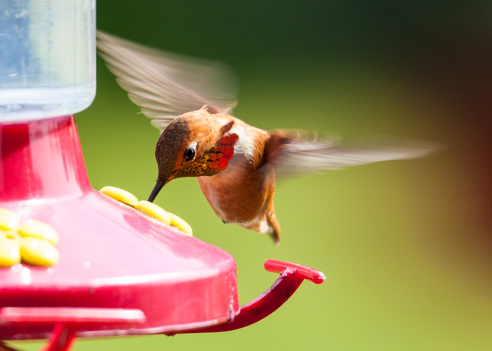 A male rufous hummingbird in flight, enjoying a drink at the feeder.