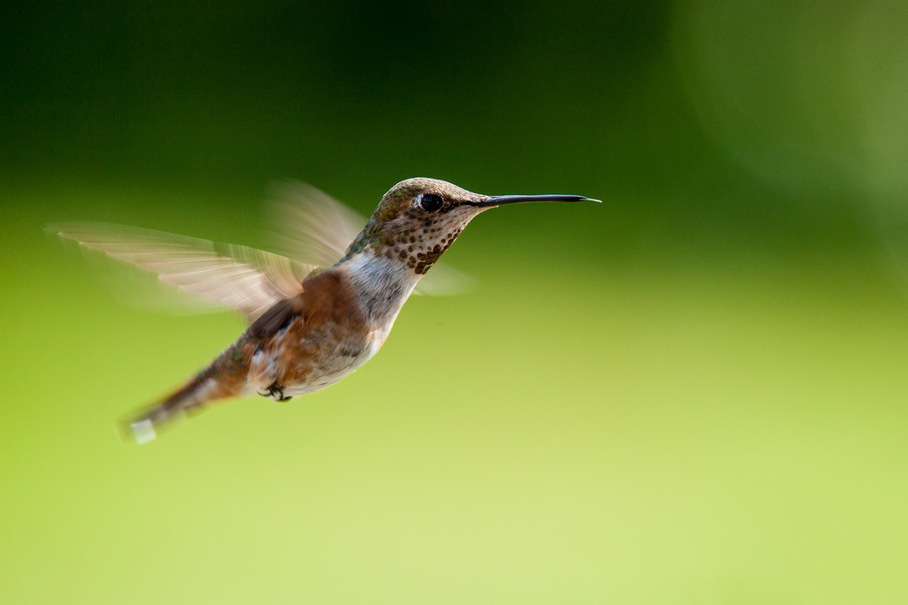 A female Anna's Hummingbird (I think...)