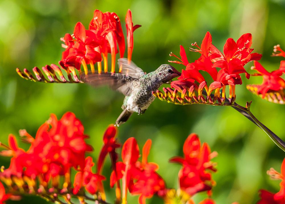 Hummingbirds-1.jpg