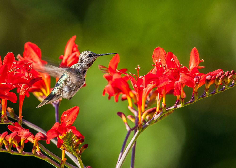 hummingbird_in_flight