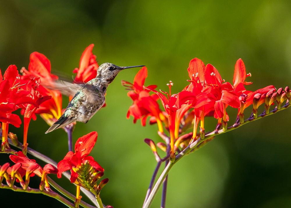 hummingbird_in_flight