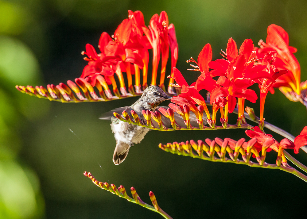 hummingbird_at_flowers