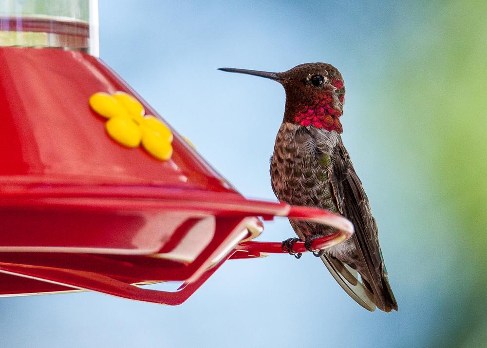 hummingbird_at_feeder