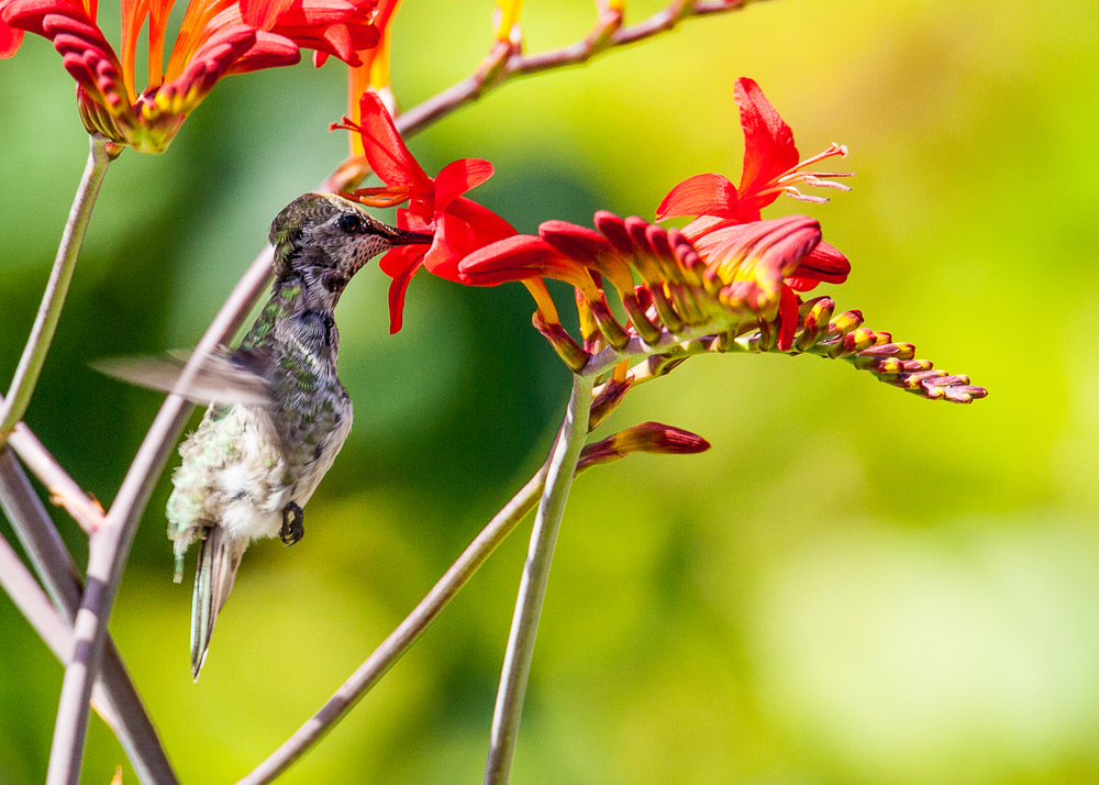 hummingbird_in_flower