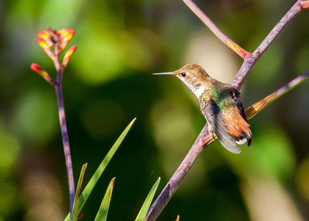 Hummingbirds-31.jpg