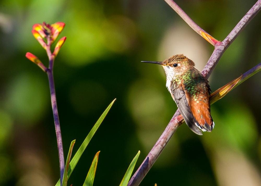 hummingbird_on_purple_branch