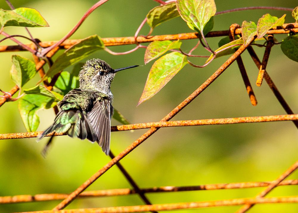 hummingbird_tongue