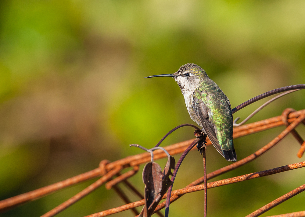 hummingbird_at_rest