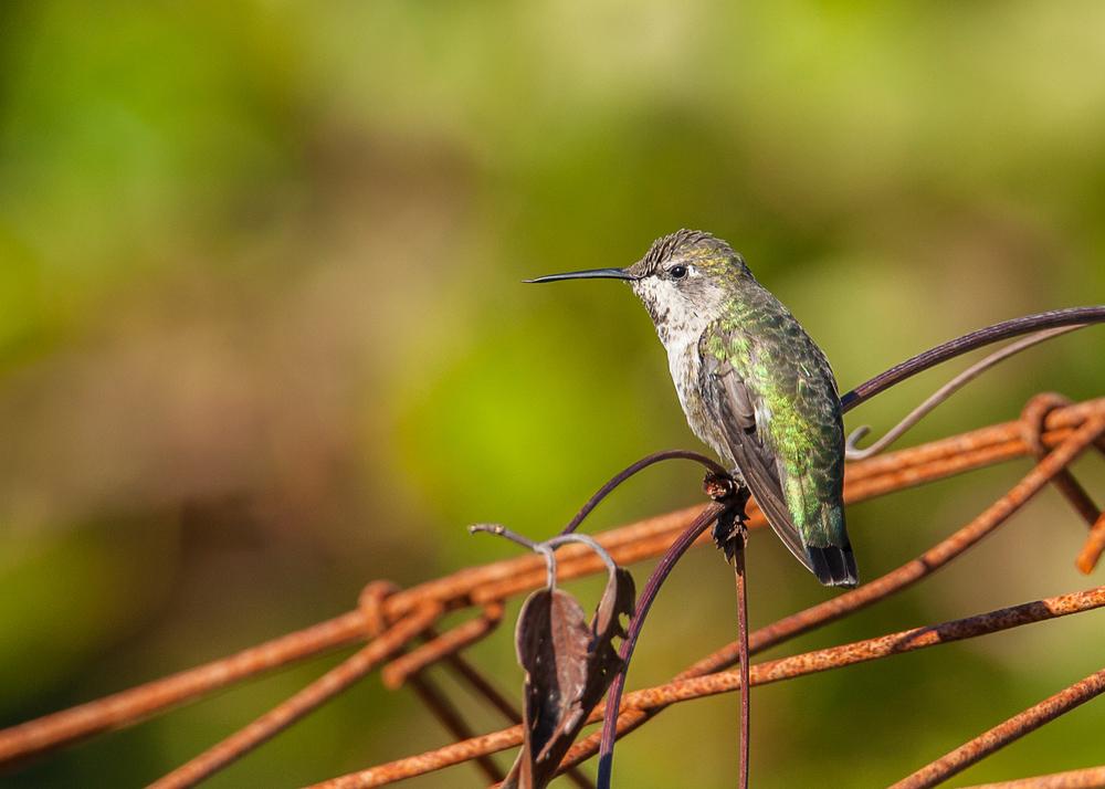 hummingbird_at_rest
