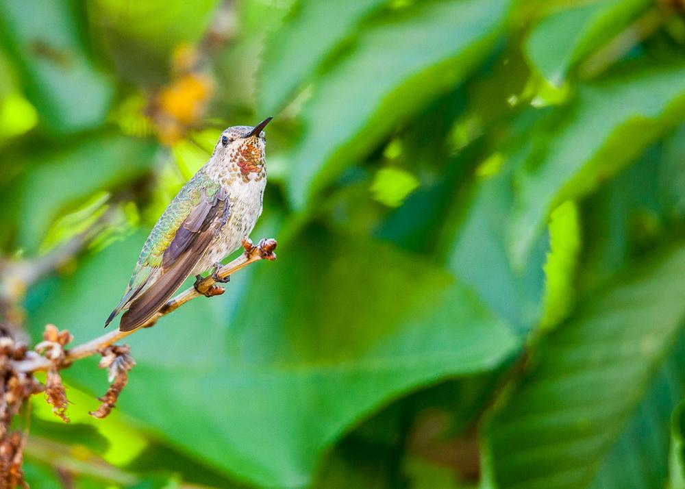 tree_hummingbird