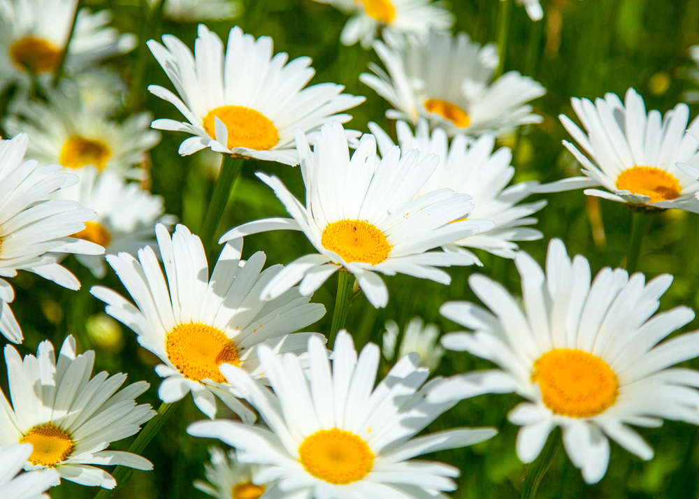 A field of daisies in the summer sunshine.