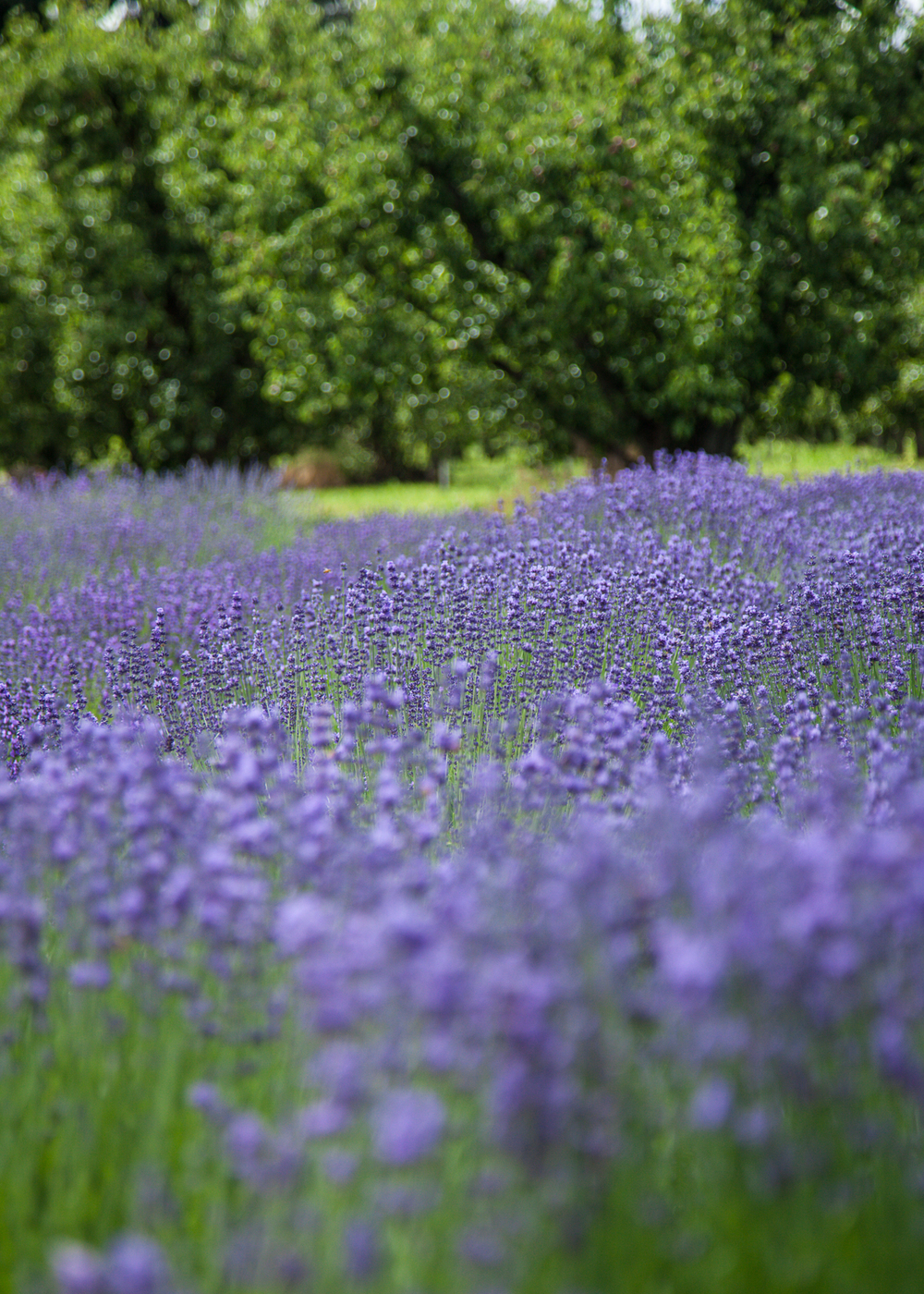 A field of lavender.